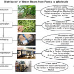 Green Beans distribution