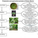 Green Beans production